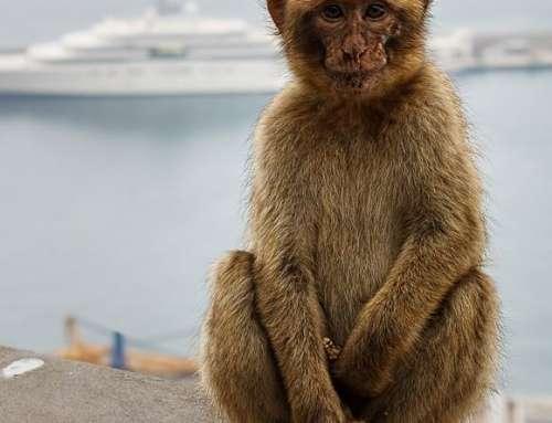 Affe von Gibraltar