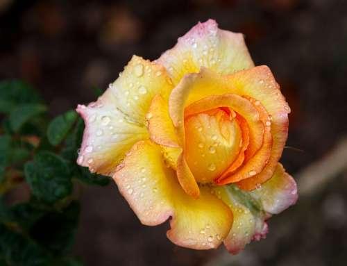 Bulgarische Rose