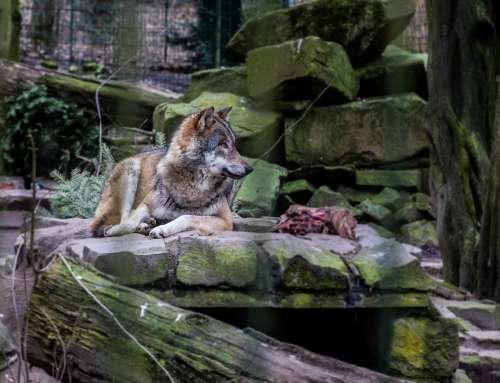 Gefangener Wolf