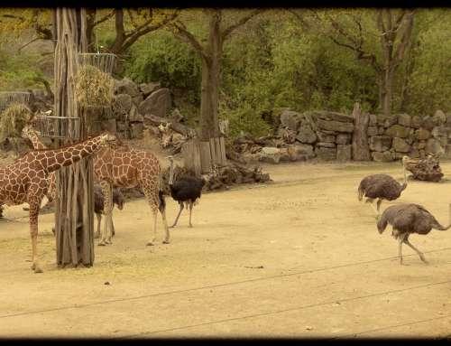 Giraffen & Strauße im Zoo