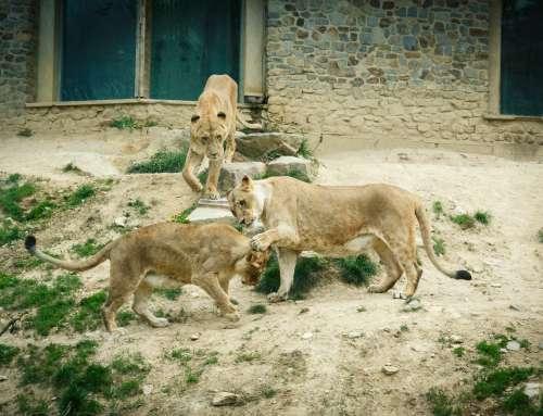 Spielende Löwen